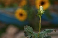 Άσπρη εστίαση μπουμπουκιών τριαντάφυλλου στο πρώτο πλάνο στοκ εικόνα με δικαίωμα ελεύθερης χρήσης
