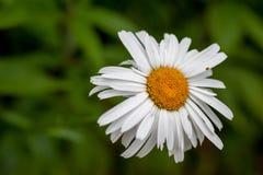 Άσπρη θερινή μαργαρίτα Στοκ φωτογραφίες με δικαίωμα ελεύθερης χρήσης