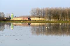 Άσπρη θρεσκιόρνιθα στον τομέα ρυζιού, Lomellina (Ιταλία) Στοκ Φωτογραφία