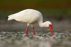 Άσπρη θρεσκιόρνιθα, albus Eudocimus, άσπρο πουλί με τον κόκκινο λογαριασμό στο νερό, τρόφιμα σίτισης στη λίμνη, Φλώριδα, ΗΠΑ Στοκ Φωτογραφία