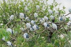 Άσπρη ιερή θρεσκιόρνιθα Στοκ εικόνες με δικαίωμα ελεύθερης χρήσης