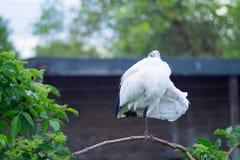 Άσπρη ιερή θρεσκιόρνιθα Στοκ φωτογραφία με δικαίωμα ελεύθερης χρήσης