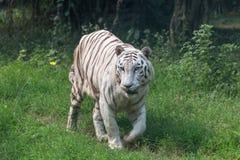 Άσπρη ινδική τίγρη που περπατά μέσω ενός ανοικτού λιβαδιού Στοκ Εικόνες