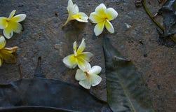 Άσπρη κίτρινη πτώση λουλουδιών Plumeria Στοκ φωτογραφία με δικαίωμα ελεύθερης χρήσης