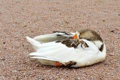 Άσπρη και γκρίζα στήριξη χήνων Στοκ Εικόνες
