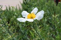 Άσπρη και κίτρινη άνθιση στο πάρκο BALBOA στο Σαν Ντιέγκο, Καλιφόρνια Στοκ φωτογραφίες με δικαίωμα ελεύθερης χρήσης