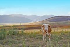 Άσπρη και καφετιά ή κόκκινη αγελάδα που εξετάζει τη κάμερα στο λιβάδι στοκ εικόνες με δικαίωμα ελεύθερης χρήσης