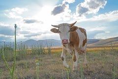 Άσπρη και καφετιά ή κόκκινη αγελάδα που εξετάζει τη κάμερα στο λιβάδι στοκ εικόνα με δικαίωμα ελεύθερης χρήσης