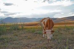 Άσπρη και καφετιά ή κόκκινη βοσκή αγελάδων στο λιβάδι στο ηλιοβασίλεμα στοκ φωτογραφίες με δικαίωμα ελεύθερης χρήσης