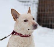 Άσπρη και κόκκινη μιγάς συνεδρίαση σκυλιών στο χιόνι Στοκ Φωτογραφίες