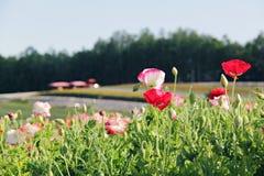 Άσπρη και κόκκινη παπαρούνα στο φρέσκο υπόβαθρο κήπων Στοκ φωτογραφία με δικαίωμα ελεύθερης χρήσης