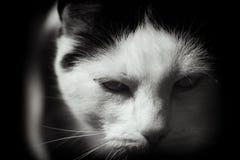 Άσπρη και μαύρη γάτα επώασης στοκ εικόνες