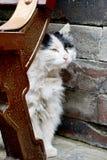 Άσπρη και μαύρη γάτα που είναι κινεζικά στοκ φωτογραφίες με δικαίωμα ελεύθερης χρήσης