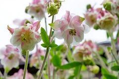 Άσπρη και ρόδινη υβριδική ανάπτυξη aquilegia λουλουδιών στον κήπο Στοκ Φωτογραφία