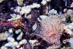 Άσπρη και ρόδινη λεπτομέρεια πλοκαμιών anemone spirograph Στοκ Εικόνες