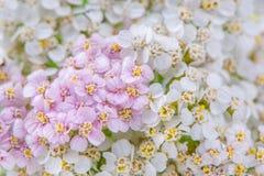 Άσπρη και ρόδινη Yarrow (Achillea) κινηματογράφηση σε πρώτο πλάνο λουλουδιών Στοκ Φωτογραφία