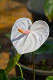 Άσπρη καρδιά, anthurium λουλούδι Στοκ εικόνες με δικαίωμα ελεύθερης χρήσης