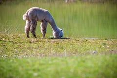 Άσπρη κατανάλωση λάμα προβατοκαμήλου στοκ εικόνα