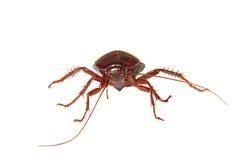 Άσπρη κατσαρίδα εντόμων υποβάθρου σπιτική Στοκ Φωτογραφίες