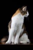 Άσπρη καφετιά γάτα Στοκ Εικόνα