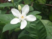 Άσπρη κινηματογράφηση σε πρώτο πλάνο λουλουδιών, ακρωτήριο Jasmine, Apocynaceae, Gardenia jasminoides, antidysenterica Ινδία Wrig Στοκ Εικόνες