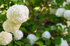 Άσπρη κινηματογράφηση σε πρώτο πλάνο λουλουδιών της Annabelle Hydrangea Στοκ εικόνες με δικαίωμα ελεύθερης χρήσης