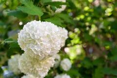 Άσπρη κινηματογράφηση σε πρώτο πλάνο λουλουδιών της Annabelle Hydrangea Στοκ Εικόνες