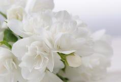 Άσπρη κινηματογράφηση σε πρώτο πλάνο λουλουδιών της Jasmine με το διάστημα αντιγράφων Στοκ εικόνα με δικαίωμα ελεύθερης χρήσης