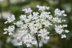 Άσπρη κινηματογράφηση σε πρώτο πλάνο λουλουδιών του κυμινοειδούς κάρου Στοκ Φωτογραφίες
