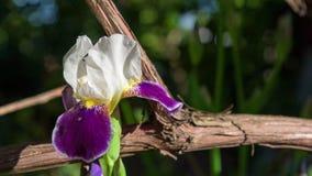 Άσπρη κινηματογράφηση σε πρώτο πλάνο λουλουδιών Gladiolus Στοκ φωτογραφίες με δικαίωμα ελεύθερης χρήσης
