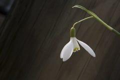 Άσπρη κινηματογράφηση σε πρώτο πλάνο snowbell στο ξύλινο γκρίζο υπόβαθρο, κενή διαστημική, σαφής διάθεση άνοιξη απλότητας στοκ φωτογραφίες