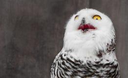 Άσπρη κουκουβάγια με να συγκλονίσει meme το πρόσωπο στοκ εικόνα