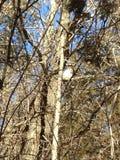 Άσπρη κουκουβάγια στοκ φωτογραφία με δικαίωμα ελεύθερης χρήσης