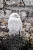 Άσπρη κουκουβάγια Στοκ εικόνα με δικαίωμα ελεύθερης χρήσης