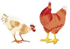 Άσπρη κότα και κόκκινη κότα στοκ εικόνα