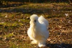 Άσπρη κότα στο αγρόκτημα Στοκ εικόνα με δικαίωμα ελεύθερης χρήσης