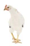 Άσπρη κότα Στοκ φωτογραφία με δικαίωμα ελεύθερης χρήσης