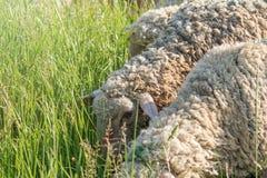 Άσπρη μάλλινη βοσκή κοπαδιών προβάτων σε έναν πράσινο τομέα στοκ φωτογραφίες με δικαίωμα ελεύθερης χρήσης
