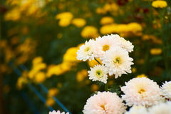 Άσπρη μακροεντολή λουλουδιών με το κίτρινο υπόβαθρο λουλουδιών Στοκ Φωτογραφία