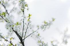 Άσπρη μακροεντολή ανθών κερασιών sping Στοκ φωτογραφία με δικαίωμα ελεύθερης χρήσης
