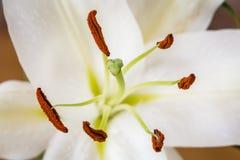 Άσπρη μακροεντολή κρίνων Στοκ Εικόνα