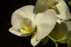 Άσπρη μακρο φωτογραφία λουλουδιών ορχιδεών Στοκ Εικόνες