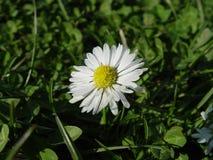Άσπρη μαργαρίτα λουλουδιών Στοκ εικόνες με δικαίωμα ελεύθερης χρήσης