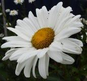 Άσπρη μαργαρίτα στην πλήρη άνθιση στοκ εικόνα με δικαίωμα ελεύθερης χρήσης