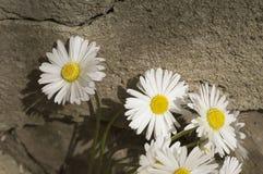 Άσπρη μαργαρίτα στο εκλεκτής ποιότητας ύφος Στοκ εικόνα με δικαίωμα ελεύθερης χρήσης