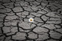 Άσπρη μαργαρίτα στο ξηρό και ραγισμένο χώμα Στοκ Φωτογραφίες