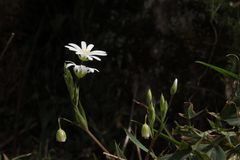 Άσπρη μαργαρίτα στο σκοτεινό υπόβαθρο Στοκ φωτογραφία με δικαίωμα ελεύθερης χρήσης