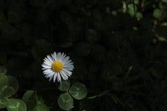 Άσπρη μαργαρίτα στο σκοτεινό υπόβαθρο στοκ φωτογραφίες