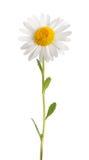 Άσπρη μαργαρίτα Στοκ εικόνες με δικαίωμα ελεύθερης χρήσης
