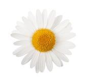 Άσπρη μαργαρίτα Στοκ Φωτογραφίες